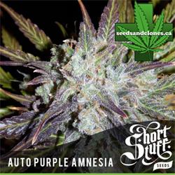 Purple Amnesia Seeds