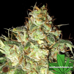 Bubba Cheese Auto Flower Seeds