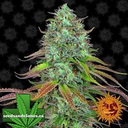 LSD Auto Flower Seeds