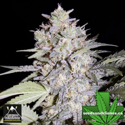 Sour Livers Auto Flower Seeds