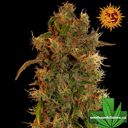 8 Ball Kush Seeds