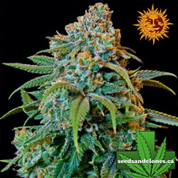 Liberty Haze Seeds