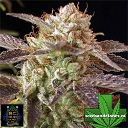 BC Kush Seeds