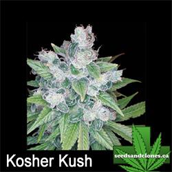 Kosher Kush Seeds