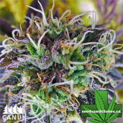 Purple Kush Auto Flower Seeds