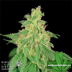 CBD Rene Seeds