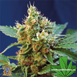 Cream Mandarine XL Auto Flower Seeds