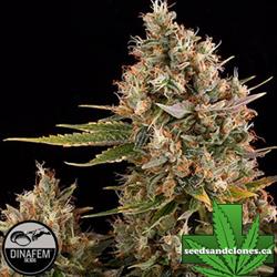 Dinachem Seeds
