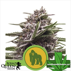 Royal Gorilla Seeds