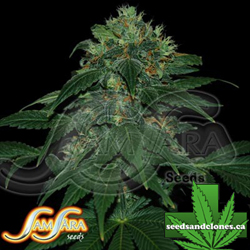 Ultraviolet Auto Flower Seeds
