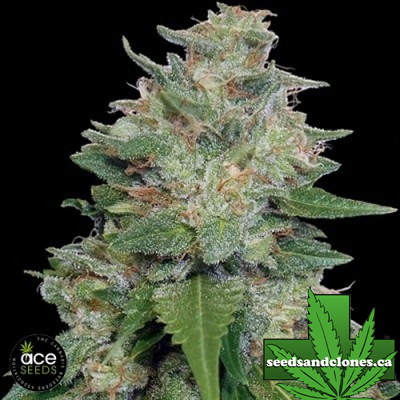 Bubba Kush x Kali China Seeds