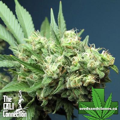 Green Crack Seeds