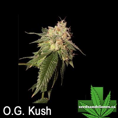 OG Kush Seeds