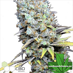 CBD Big Bud Super Skunk Seeds