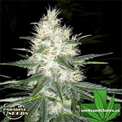 Dutch Kush Seeds