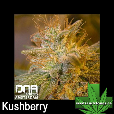 Kushberry Seeds