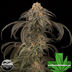 Purple Afghan Kush Seeds
