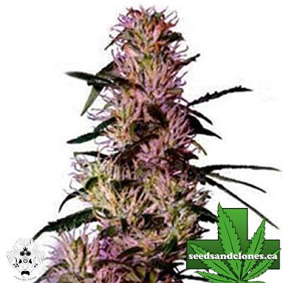 Purple Haze Seeds