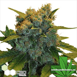 CBD Sensi Star Seeds