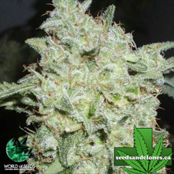 Afghan Kush Special Seeds