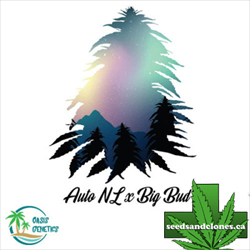 Auto NL x Big Bud Seeds