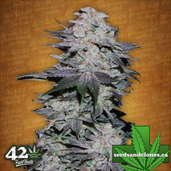 Blackberry Auto Seeds