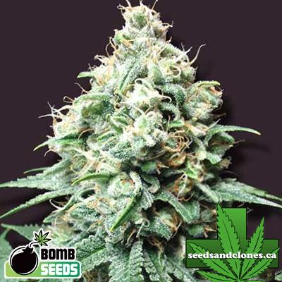 Kush Bomb Seeds