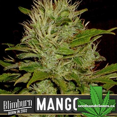 Mango Seeds