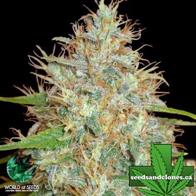 Afghan Kush x Skunk Seeds