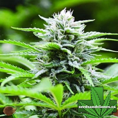 Kushhead 707 Seeds