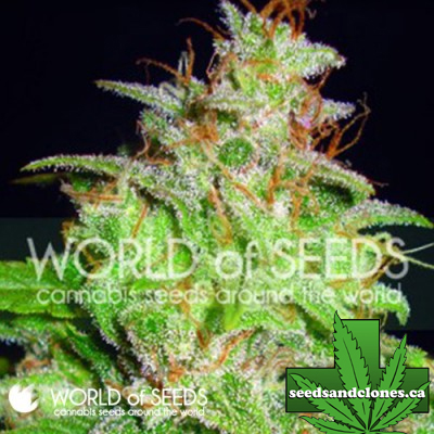 Mazar x White Rhino Seeds