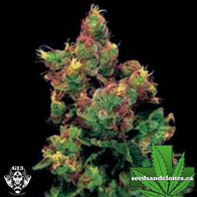 Midnight Kush Seeds