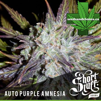 Auto Purple Amnesia Seeds