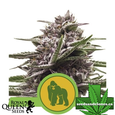 Royal Gorilla Autoflower Seeds