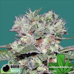 CBD Bomb Seeds