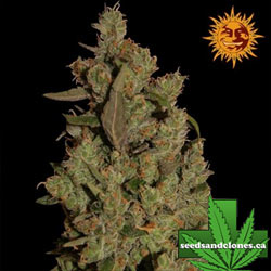 CBD Critical Cure Seeds