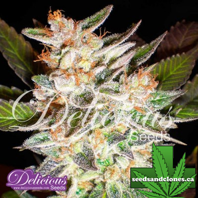 Delicious Candy Auto Seeds