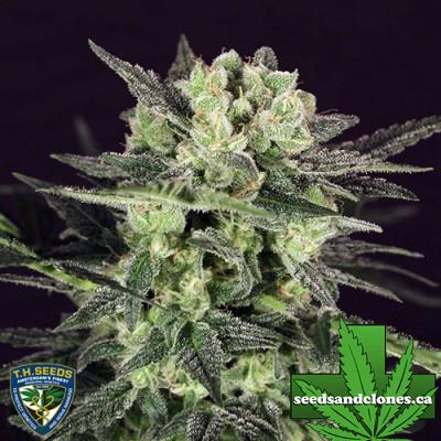 MK Ultra Kush Autoflower Seeds