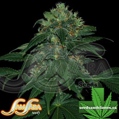 Ultraviolet Autoflower Seeds