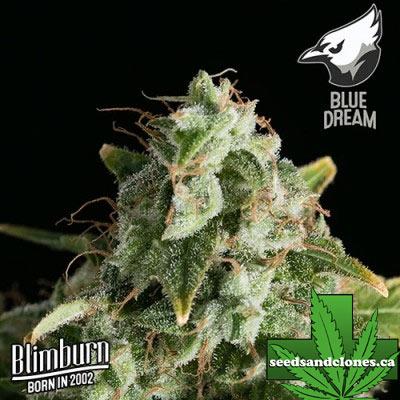 Blimburn Blue Dream Seeds