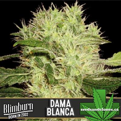 Dama Blanca Seeds
