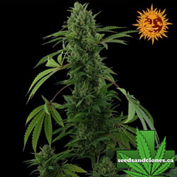 Pineapple Express Auto Seeds
