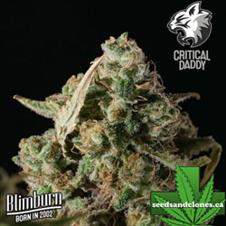 Critical Daddy Seeds