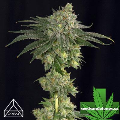 Gorilla Glue #4 x Zkittlez Seeds