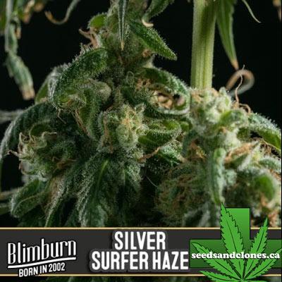 Silver Surfer Haze Seeds