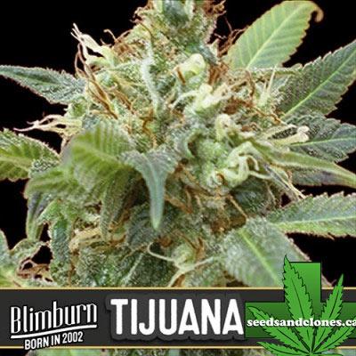 Tijuana Seeds