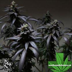 Blue Sherbet S1 Seeds