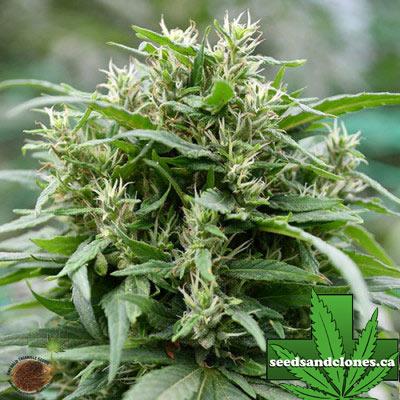 Blueberry Gelato Seeds