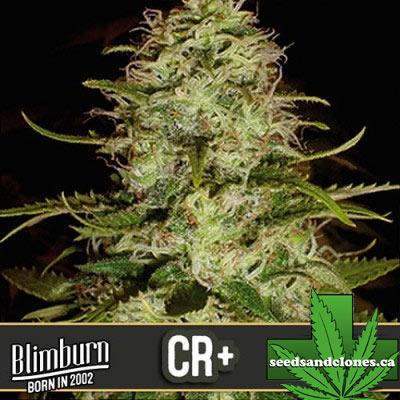 CR+ Seeds