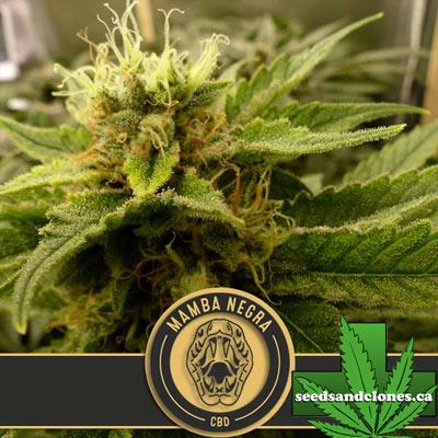 Mamba Negra CBD Seeds